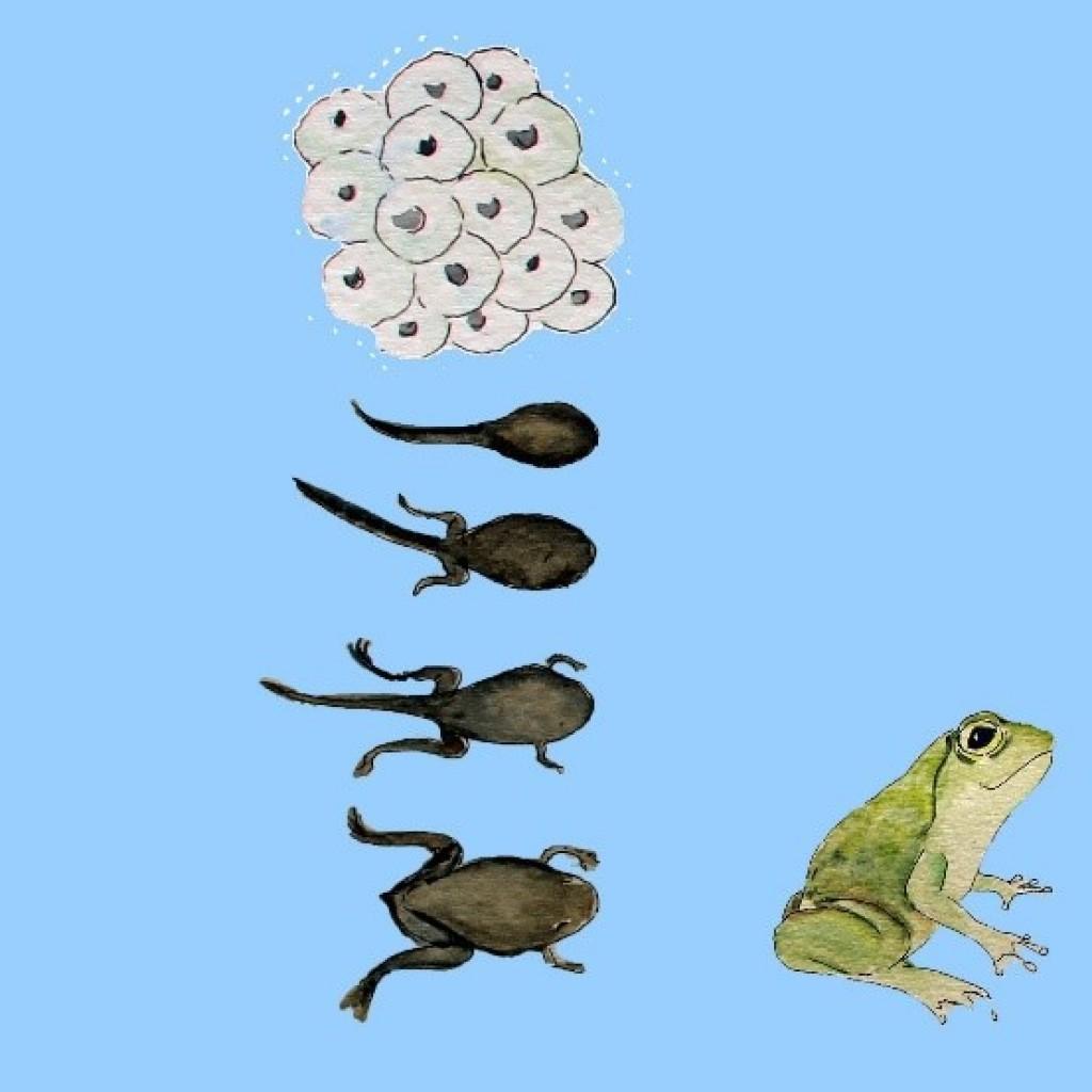 pinokkio kikkers