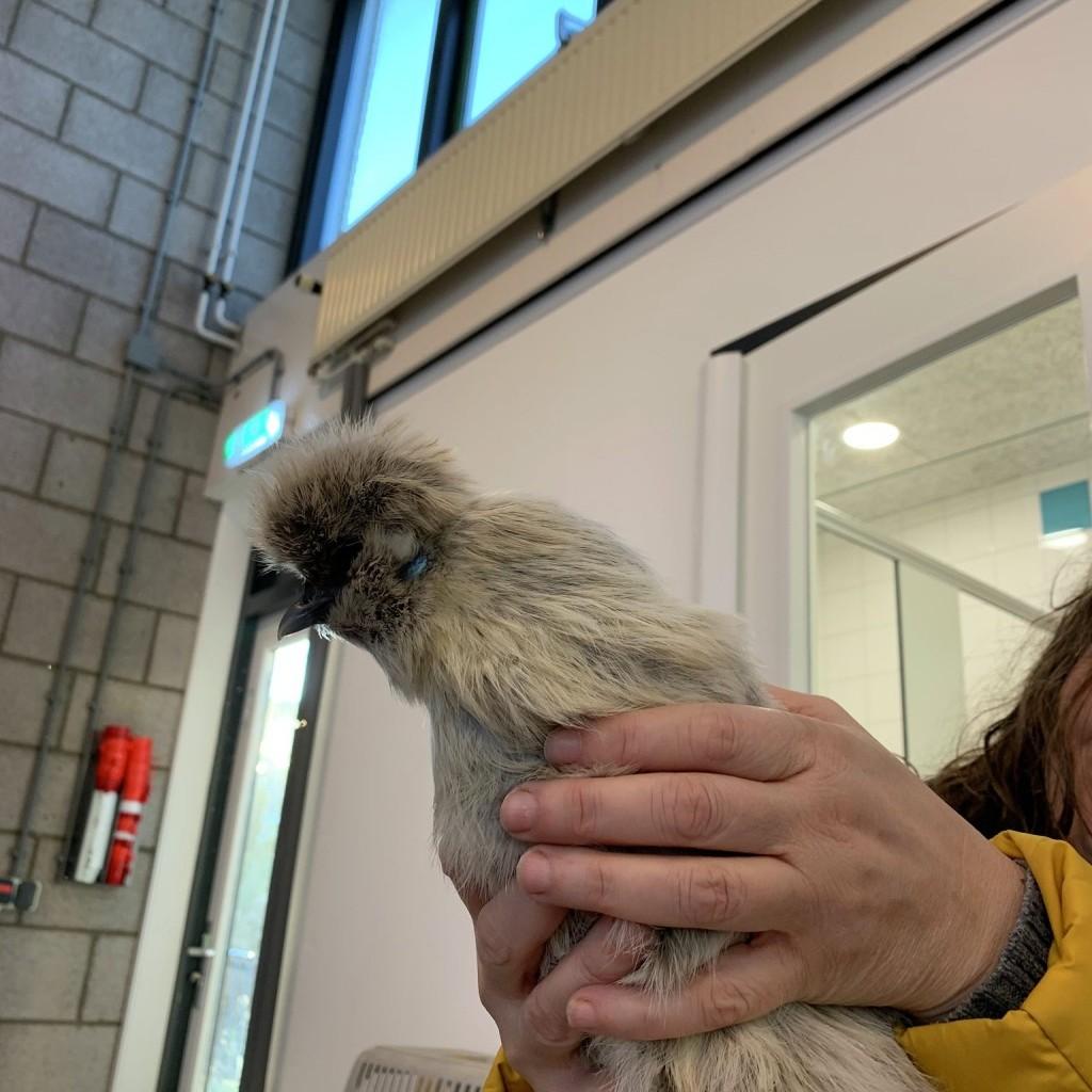 Ghijs een kip op bezoek